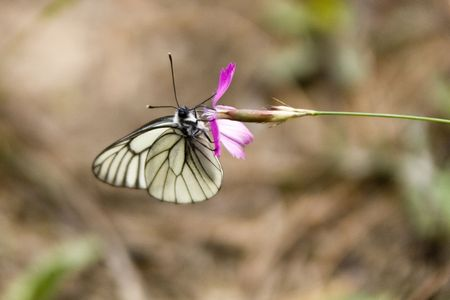 White butterfly on the pink flower