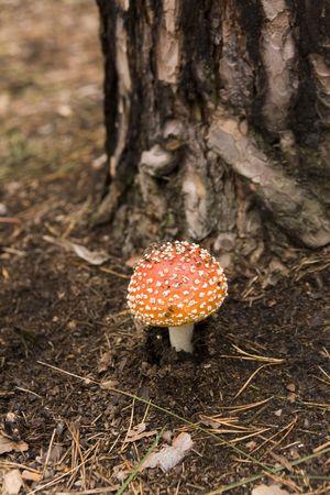 Amanita muscaria near the pine in the forest Stock Photo - 4062043