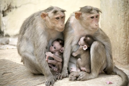Monkey Macaca Family on the street of Indian town Stock Photo