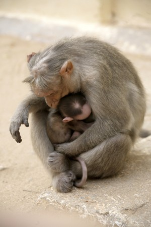 Monkey Macaca Family on the street of Indian town photo