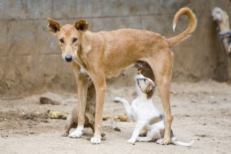 slurp: Emaciated dog nursing its young puppies Stock Photo