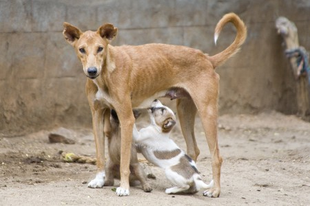 Emaciated dog nursing its young puppies Stock Photo