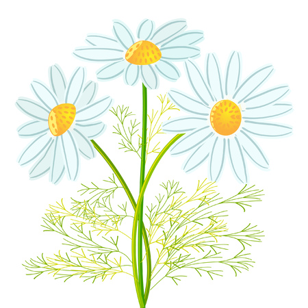 Three chamomile flowers with leaves