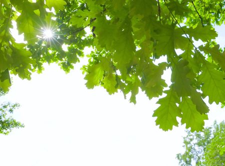 Sunshine oak leaves and white place for text Stock Photo