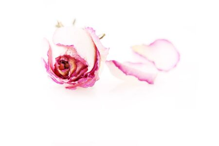 dried rose with petals over white, studio shot