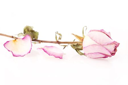 dried rose with petals over white photo