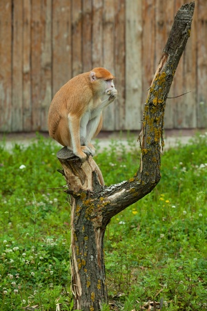monkey sitting on tree and eating side view