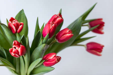 narrow depth of field: Closeup colorful red tulips. With narrow depth of field Stock Photo