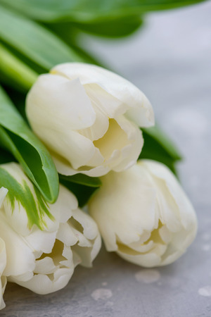Close-up beautiful white tulips. Holiday greetings concept