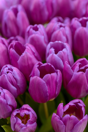 Close-up purple tulips. Holiday background for greetings card