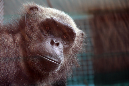 cage gorilla: Young monkey in a cage looking at the camera