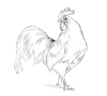 Vector Rooster black and white on a white background