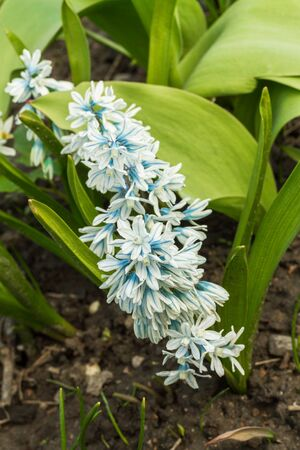 grown up: The first spring cultivated flowers which are grown up in a garden.