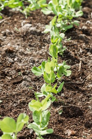 kitchen garden: Young small sprouts of peas in a kitchen garden. Stock Photo
