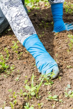 topsoil: Woman in blue gloves working in the organic garden.