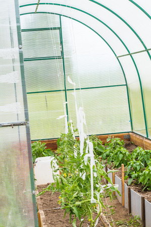 peppery: Growth of peppery and tomato plants in greenhouse.