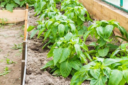 Growing of pepper plants in a greenhouse.