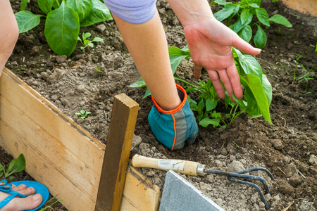 topsoil: The woman in blue gloves working in the greenhouse.