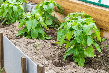 topsoil: Growing of pepper plants in a greenhouse.