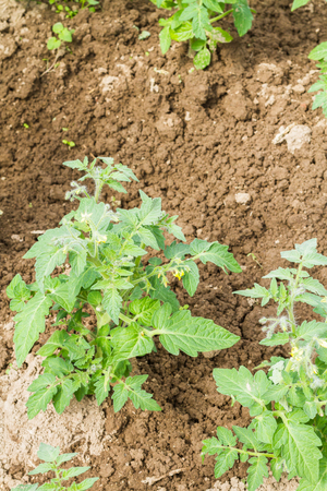 topsoil: Growth of tomato plants in the greenhouse. Stock Photo