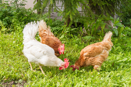 Free range chickens grazing on grass in the summer.
