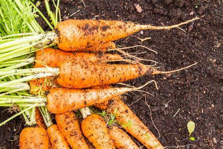 Fresh farmer organic carrots on the topsoil.