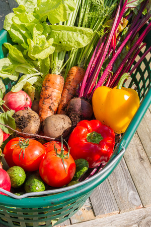 Fresh organic carrots, beet, potatoes, cucumbers, tomatoes, sweet peppers and apples in a green garden basket.