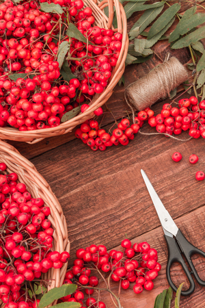 Ripe bunches of rowan berries in wicker baskets. Stock Photo