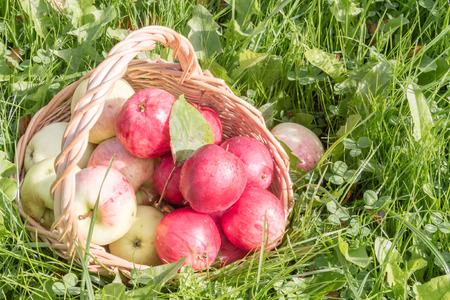 wattled: Ripe organic apples in a wattled basket on a grass.