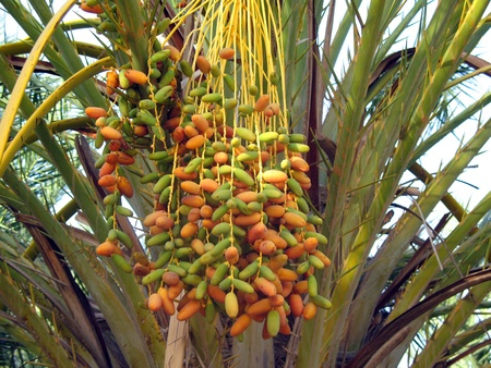 dates on the palm Stock Photo