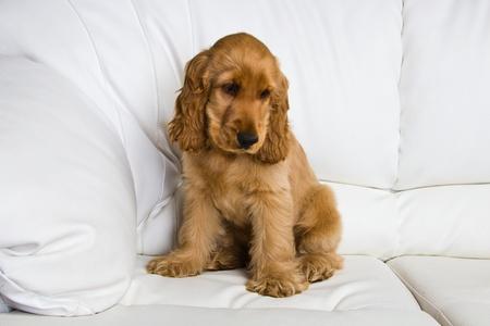 animal welfare: puppy a cocker - a spaniel on a white sofa