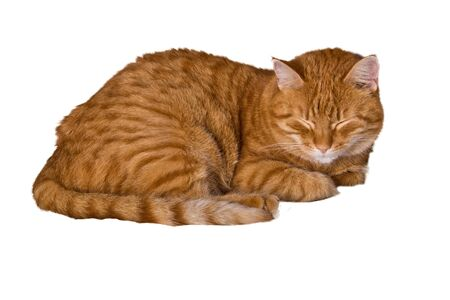 Young ginger cat resting photo