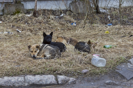 a pack of stray dogs lying in the grass