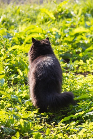 long-haired black cat in the garden photo