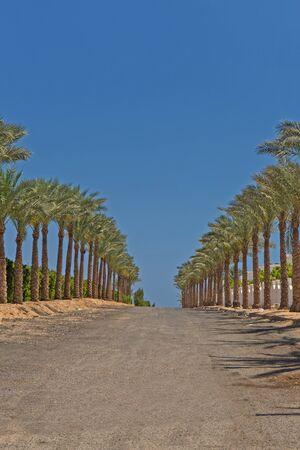 el sheikh: Avenue of palms in Sharm El Sheikh, Egypt