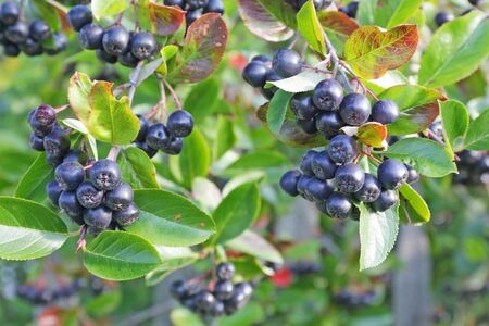 european rowan: Aronia berries on a bush. Life in the village.
