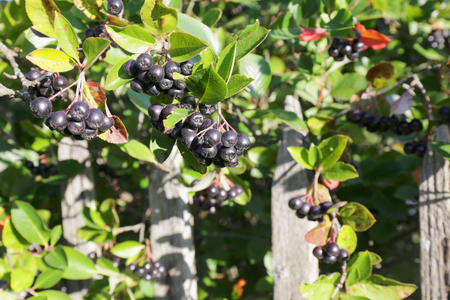 european rowan: Aronia berries on a bush growing at a wooden fence in the village.