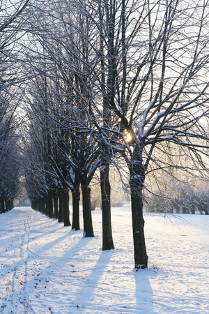 whiteness: Trees in hoarfrost in the park
