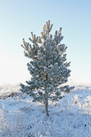 freeing: lonely snow-covered pine tree against the sky. backlit. Stock Photo