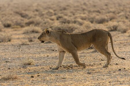 a lioness moving smoothly in Etosha national park, Namibia Stock fotó