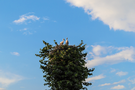 incubation: stork nest on a tree