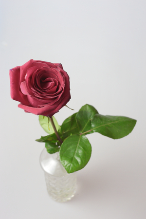 rose flower Editorial