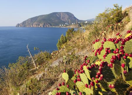 Opuntia at Cape Plaka. Crimea.