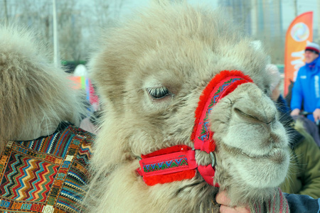 camel close up in winter in Siberia, daytime Stock Photo