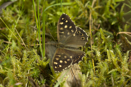 speckled wood: Speckled Wood Butterfly resting on a mossy forest floor in Surrey hills, England