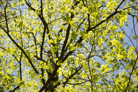 acer: Maple Tree in Spring  in Mount Royal Park, Montreal, Canada Stock Photo