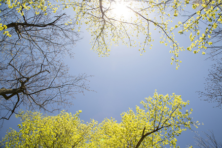 Blue spring sky and Maple Trees in Mount Royal Park, Montreal, Canada Stock Photo - 25026055