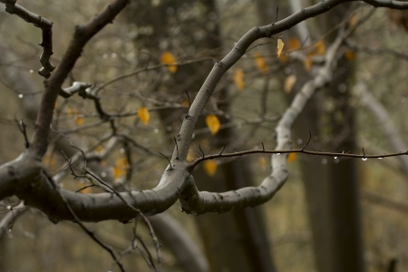 bark rain tree: Alder Tree branches and yellow leaves in a Surrey forest, England, UK Stock Photo