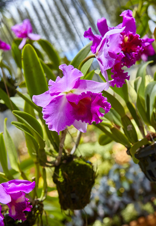 Purple orchids, Violet orchids. Orchid is queen of flowers. Orchid in tropical garden. Orchid in nature. Stock Photo