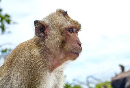Monkey on the rocks funny close-up Thailand